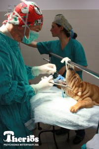 Fot. 3: Operacja skrócenia podniebienia miękkiego i plastyki skrzydełek nosowych u Duszki