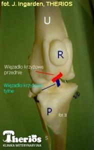 Staw kolanowy. U - kość udowa; R - rzepka; P - kość piszczelowa; S - kość strzałkowa