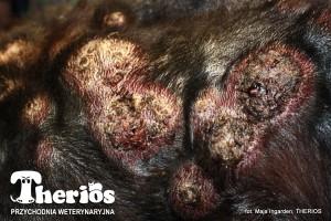 Ropiejące guzy chłoniakowe pokrywały całe ciało berneńczyka Rico.