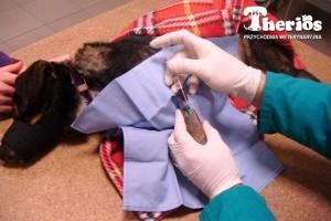 Podanie prp (osocze bogatopłytkowe) wspomaga leczenie trudno gojących się ran. Na zdjęciu pies po wypadku komunikacyjnym
