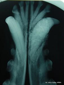 Kości żuchwy zajęte przez złośliwy nowotwór (szkliwiak). Zdjęcie wykonane w Klinice Weterynaryjnej ARKA w Krakowie.