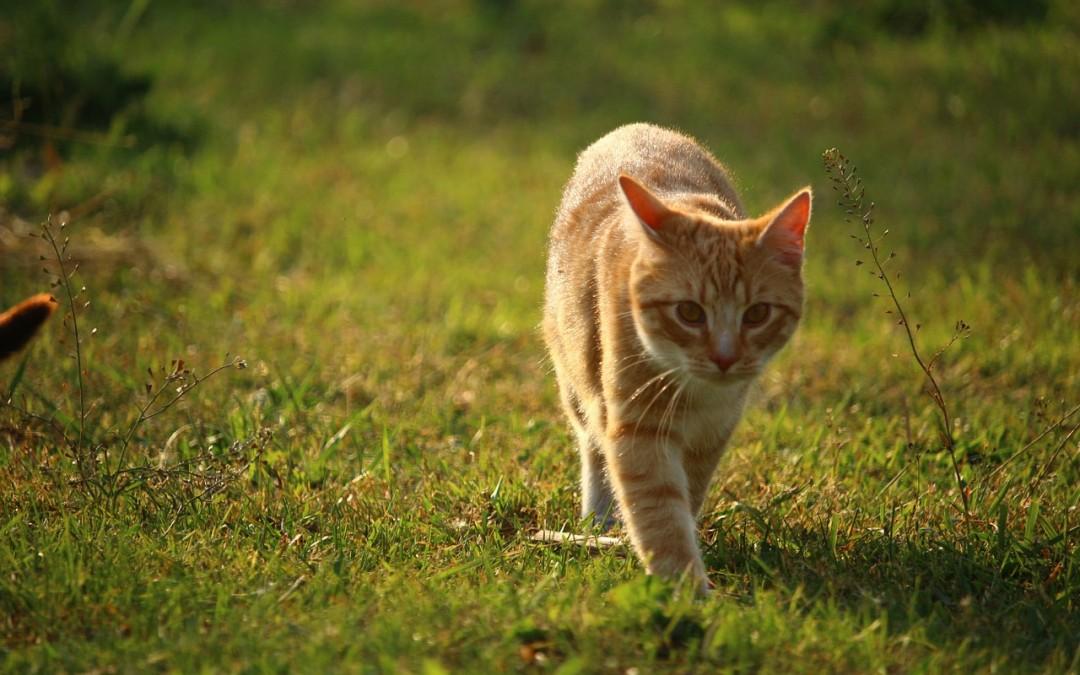 Koty wychodzące – czyli koty swobodnie przebywające na dworze