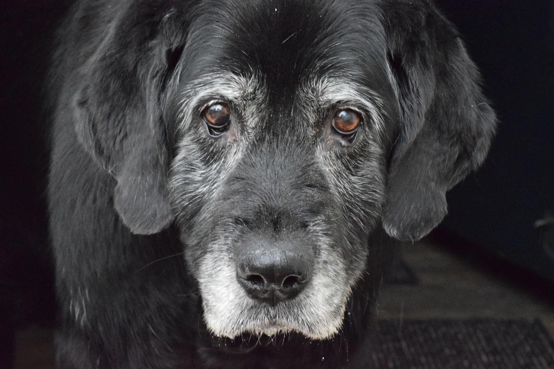żywienie starszych psów