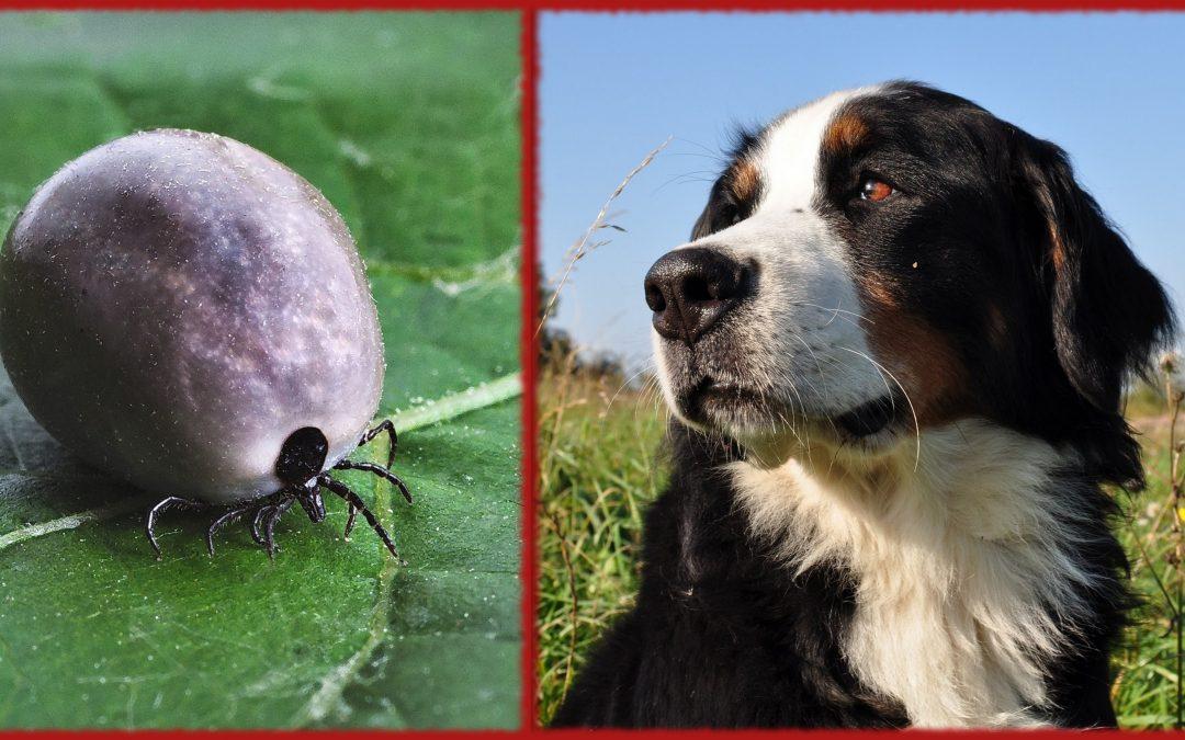 Berneńskie psy pasterskie kontra Borrelia – czy ta walka zawsze musi być przegrana?