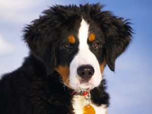 Berneńskie psy pasterskie