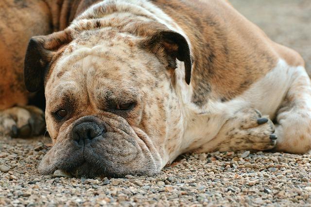 Ostre rozszerzenie i skręt żołądka (RSŻ) u psów