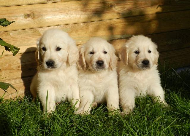 Glistnica psia (Toxocara canis)