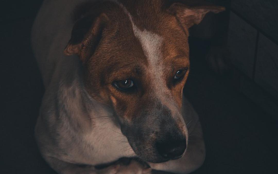 Strach, lęk i fobia dźwiękowa u psów