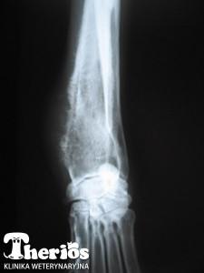 Zmiany nowotworowe w kości promieniowej u 12-letniego owczarka niemieckiego