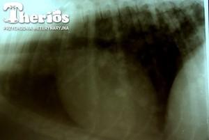 Rtg klatki piersiowej 11-letniej suczki. Widoczne przerzuty z raka sutka.