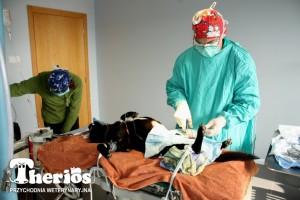 Doktor Jacek Ingarden operuje Paja