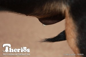 Laki: szczeniak z zarośniętym napletkiem. Widoczna kropelka moczu