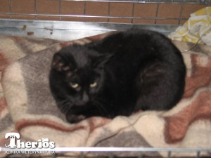 6-letnia sterylizowana kotka