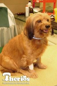 Nasz pacjent Oskar w czasie kroplówki.