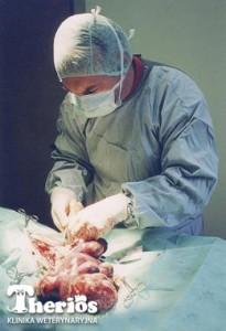Dr Jacek Ingarden w czasie zabiegu splenektomii.