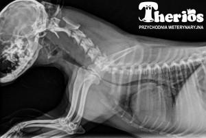 Inny przypadek ciężkiego zapadania tchawicy (IV stopnia) u 7-letniego yorka. Rtg cyfrowe.
