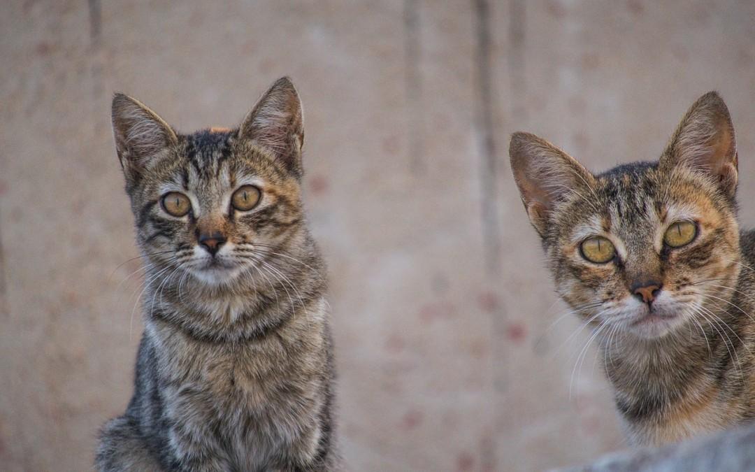 """Jak zrozumieć kota – """"kocie języki"""""""