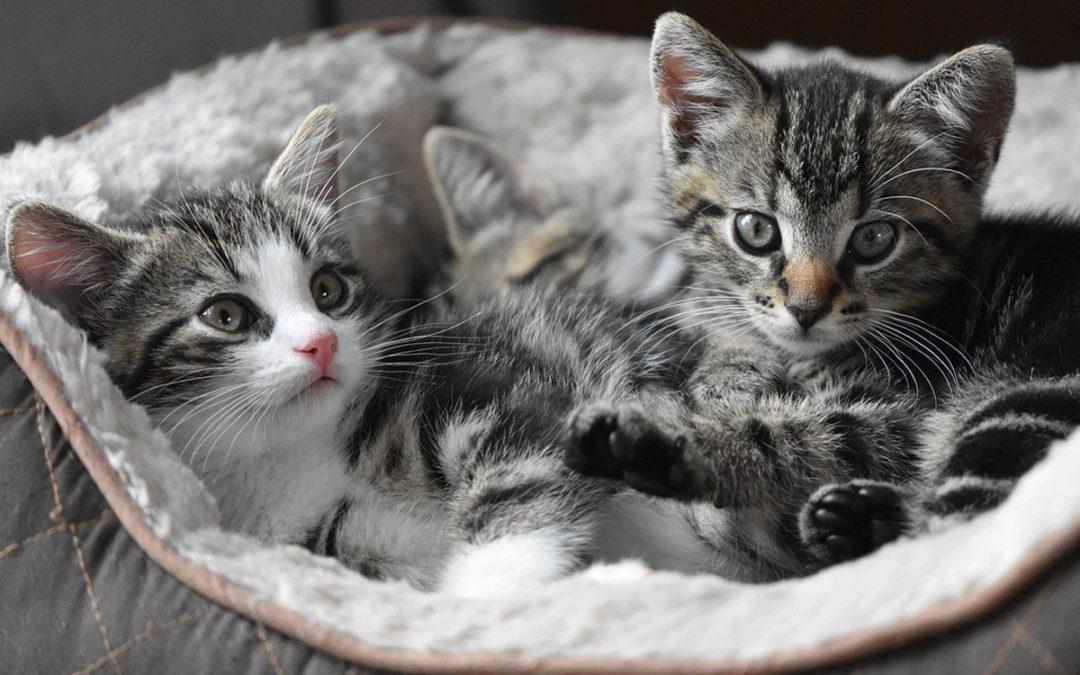 Mykoplazmoza hemotropowa kotów (zakaźna anemia kotów, dawniej hemobartonelloza)