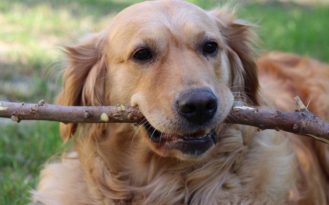 Chłoniak u psa – przypadek kliniczny