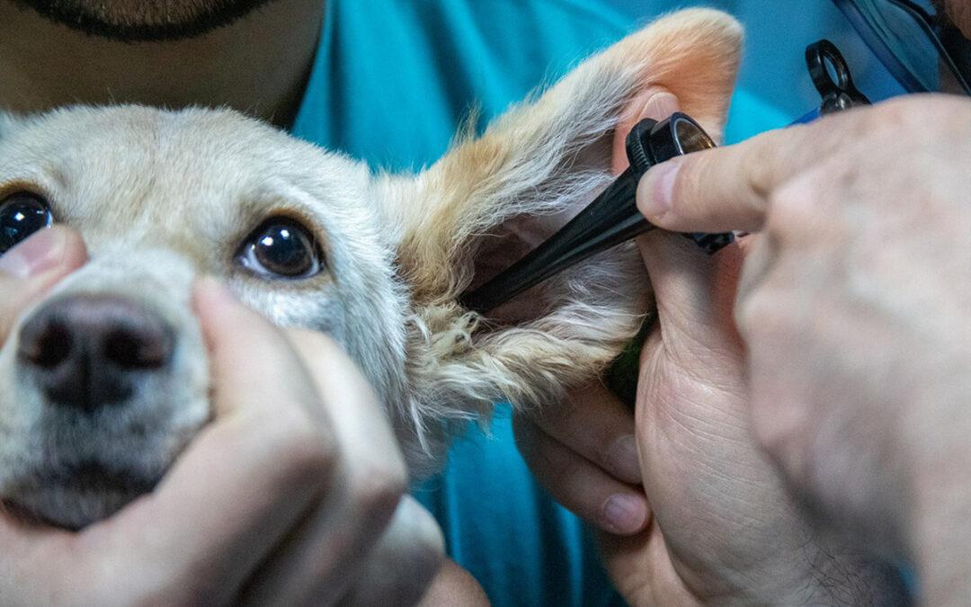 Zapalenie uszu u psów – objawy, rozpoznanie, postępowanie